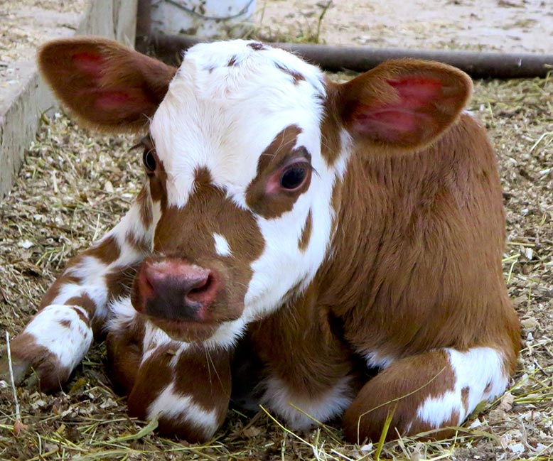 a calf - crop and livestock insurance